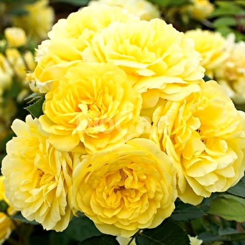 Комтесс дю барри роза