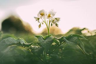 Kartoffelblüte_1