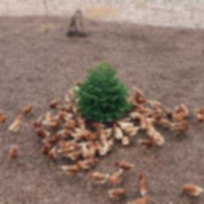 Hühner_Weihnachtsbaum.jpg