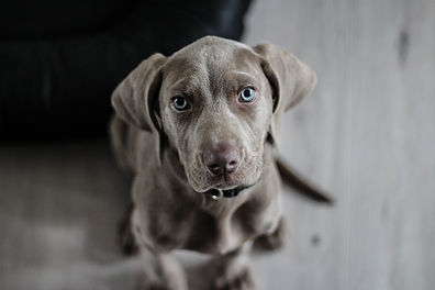 Grey puppy dog close up