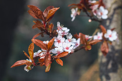 Cherry Blossoms - Opal Sky.JPG