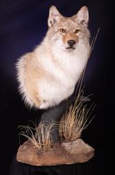 Coyote Shoulder