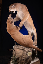 Fighting Cougars