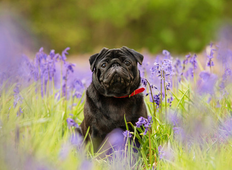 It's all about the bluebells!
