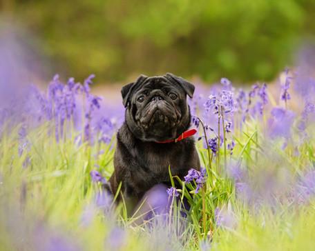 black pug in bluebells