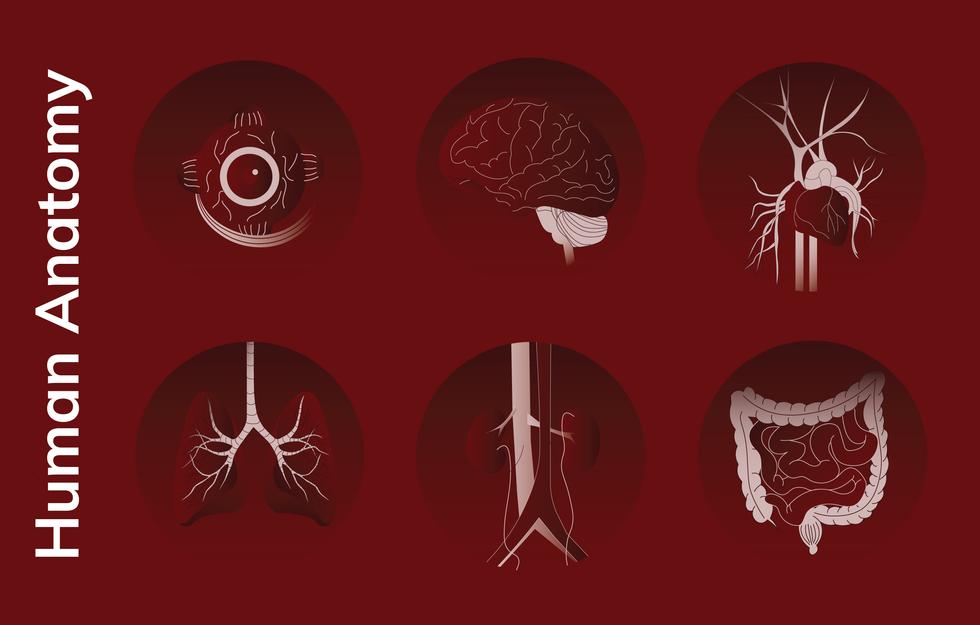 Human-anatomy.png