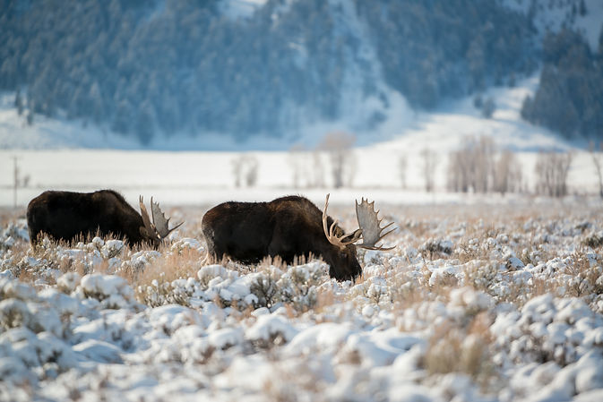 Moose, Grand Teton National Park, Wyomin