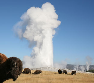 Bison herd with Old Faithful geyser erup