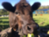 Cows!.jpeg