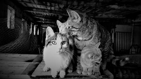 Cats bw barn2.jpg