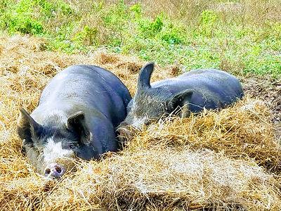 big hogs in hay.jpg