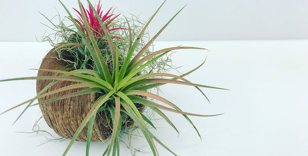 Coconut air plants