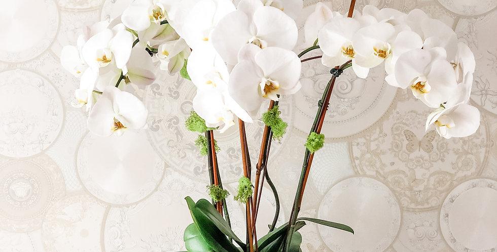 Beautiful White Orchids Arrangement