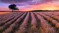 Lavendel 8