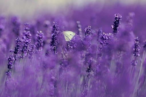 Lavendel 5