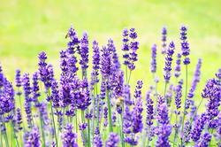lavender-1117274__340