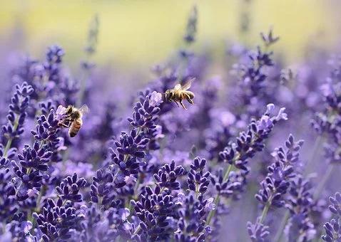 Lavendel 9