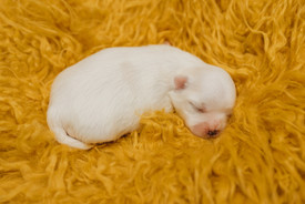 puppiesnewborn-49.jpg