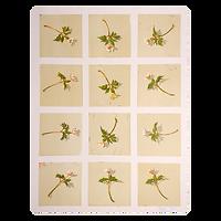 Anemone Nemorosa IV - Tor-Arne Moen