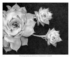 Succulents #2