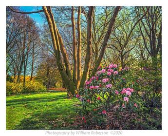 Rhododendron, BBG