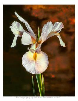 Iris #3