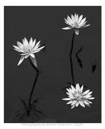Water Lilies, Brooklyn Botanic Garden #2