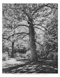 Tree, Biltmore