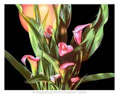 Calla Lilies, Sphere