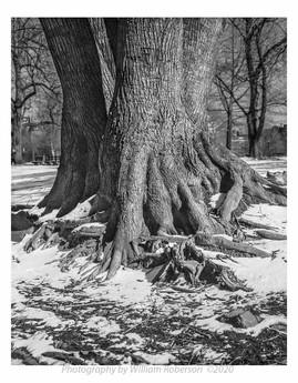 Three Trees, Prospect Park