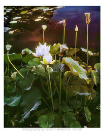 Sacred Lotus, Brooklyn Botanic Garden