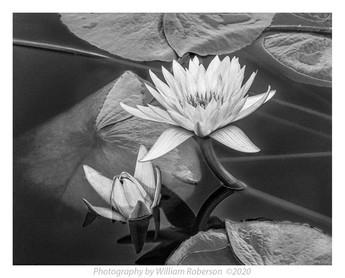 Water Lilies, Brooklyn Botanic Garden