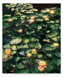 Water Lilies, BBG