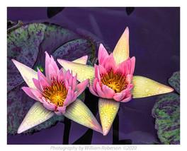 Water Lilies, BBG #2