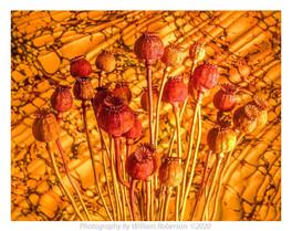 Poppies #4