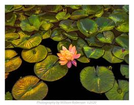 Water Lily BBG #2