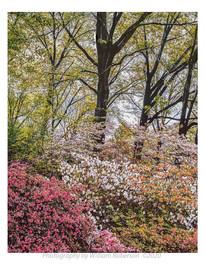 Spring Blossoms, BBG