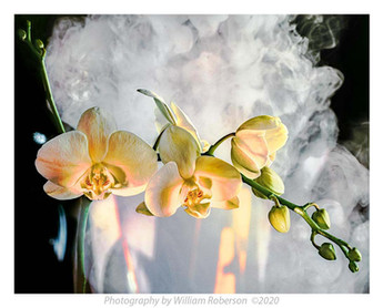 Moth Orchid #4