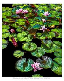 Water Lilies, BBG #4