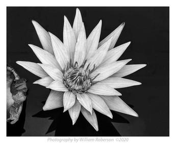 Water Liliy, Brooklyn Botanic Garden