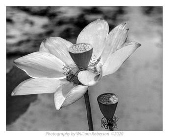 Sacred Lotus, Brooklyn Botanic Garden #4