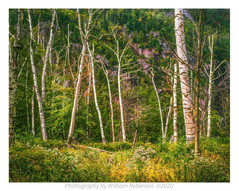 Birches, Chapel Pond