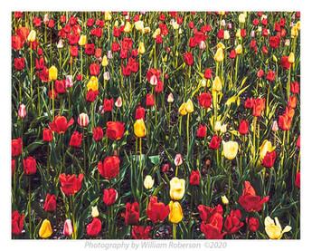 Tulips, BBG