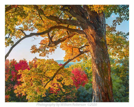 Vanderbilt Tree