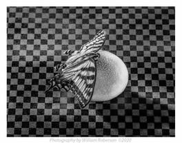 Egg, Moth