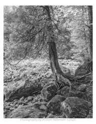 Tree, Racquette River