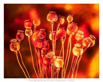 Poppies #5