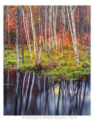 Reflecting Birches
