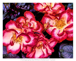 Roses, Brooklyn Botanic Garden