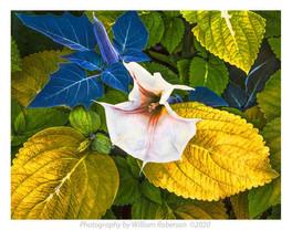 Jimson Flower, Brooklyn Botanic Garden